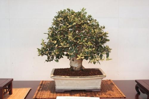 Bonsai Acebuche - Olea Europaea - torrevejense