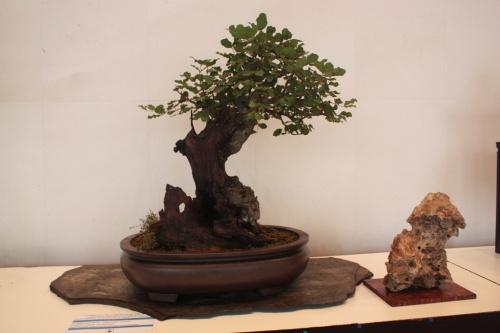 Bonsai Algarrobo - Associació Bonsai Cocentaina - torrevejense