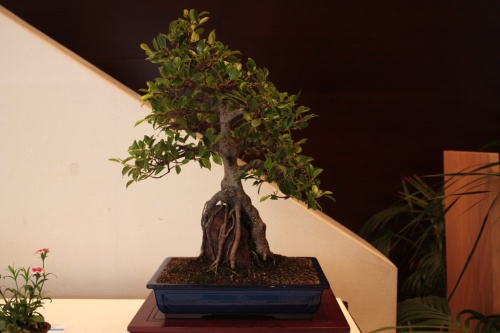 Bonsai Ficus Retusa - Asociación Alcazaba - torrevejense