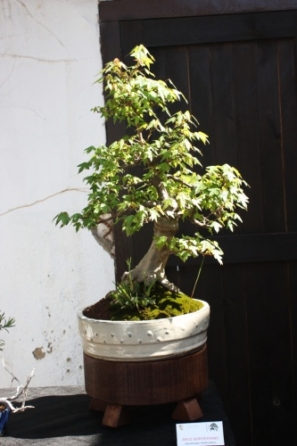 Bonsai 10584 - Bonsai Oriol