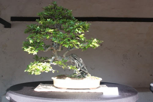 Bonsai Olmo Chino, Antonio Martinez - Bonsai Oriol