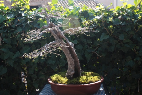 Bonsai Olmo, Domingo Ramirez - Bonsai Oriol