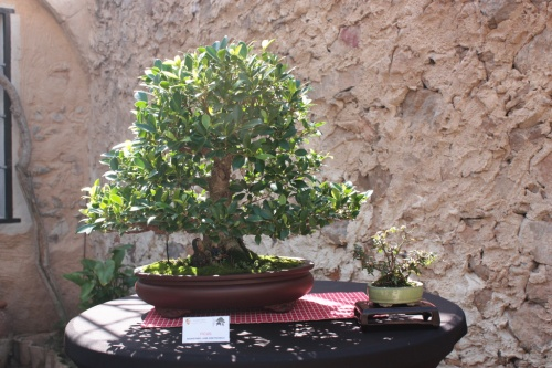 Bonsai Ficus Juan Jose Pacheco - Bonsai Oriol