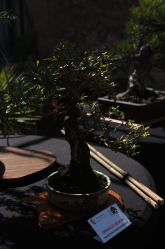 Bonsai Granado Nejikan - Bonsai Oriol