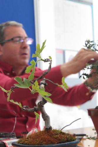 Bonsai Higuera alambrada en la charla de Jose Gomez del Rio - Bonsai Oriol