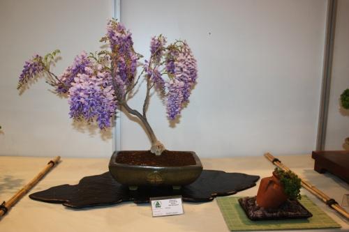 Bonsai Wisteria sinensis - Glicina - CBALICANTE