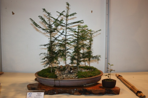 Bonsai Bosque de tejos - CBALICANTE