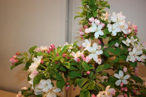 Bonsai Flores Manzano - CBALICANTE