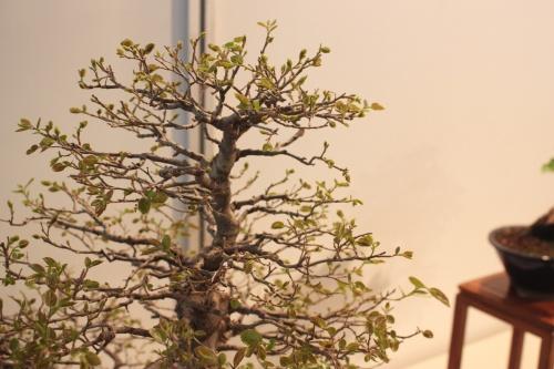 Bonsai Ramas y hojas del Almez  - CBALICANTE