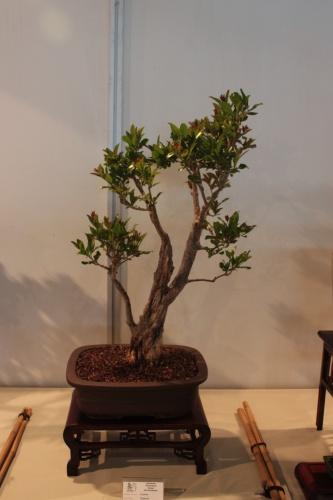 Bonsai Punica Granatum - CBALICANTE