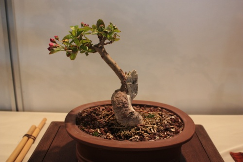 Bonsai Malus Everest - CBALICANTE