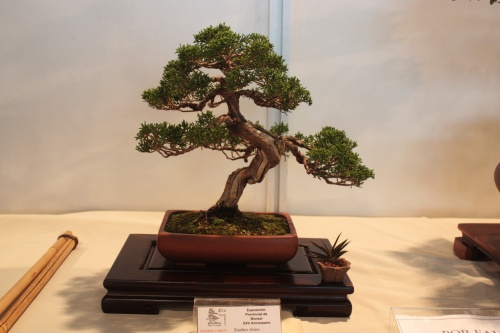 Bonsai Juniperus Chinensis - CBALICANTE