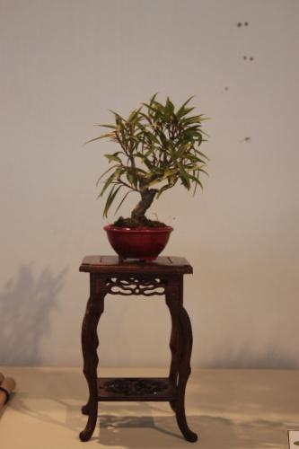 Bonsai Ficus Nerifolia Regularis - CBALICANTE