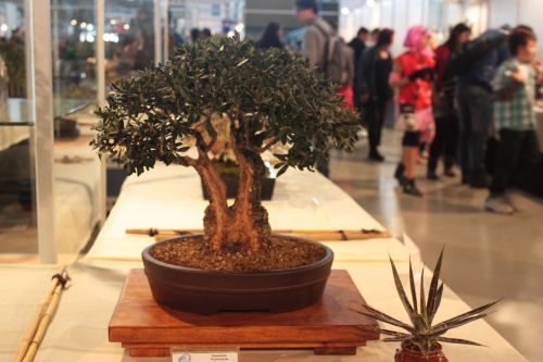 Bonsai Olivera de Doble Tronco - CBALICANTE