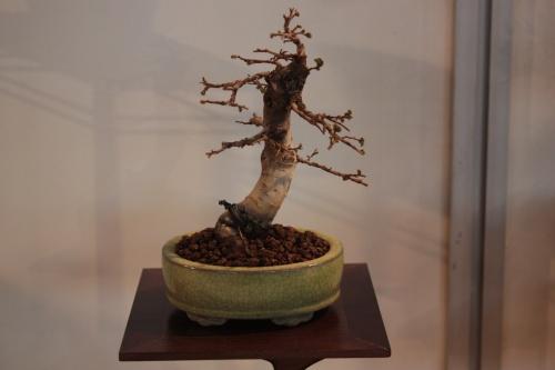 Bonsai 10752 - CBALICANTE