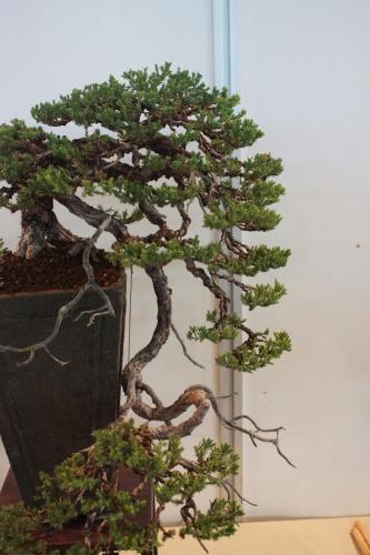 Bonsai Enebro en cascada - CBALICANTE