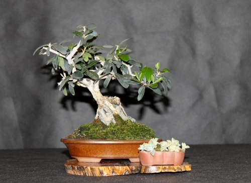 Bonsai 10840 - josegoderi