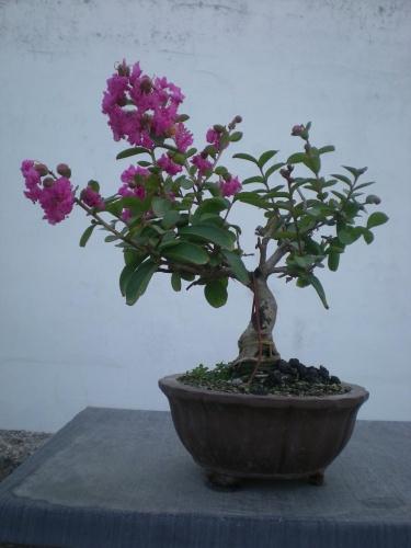 Bonsai Lagerstroemia indica rosa-B3 - Elias