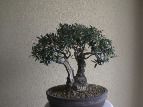 Bonsai 10988 - vicente solbes