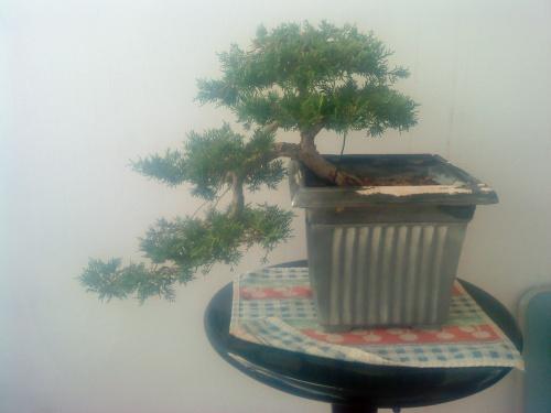 Bonsai juniperus chinensis - aviguer