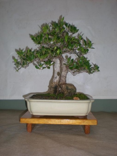Bonsai Ficus retusa - Sueca
