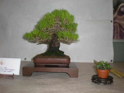 Bonsai Pino thumbergi - Sueca
