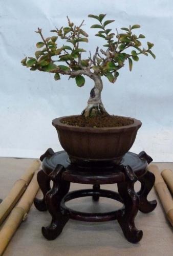 Bonsai Lagerstroemia indica - Sueca
