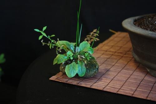 Bonsai 11148 - Bonsai Oriol