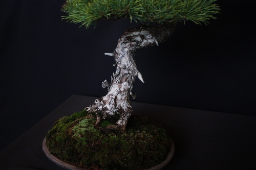 Bonsai Pino Pentaphila Olivo - Bonsai Oriol