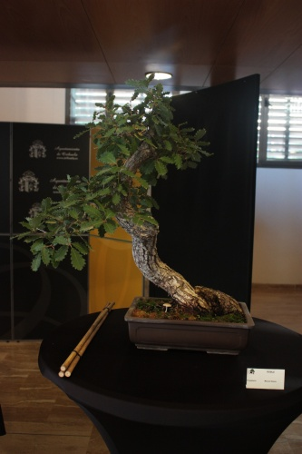 Bonsai Roble - Bonsai Oriol