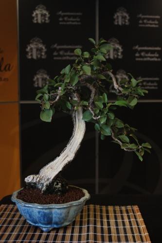 Bonsai Prunus Mahaleb - Bonsai Oriol