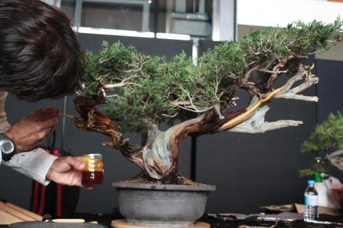 Bonsai Pintar para blanquear la madera - Bonsai Oriol