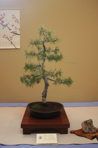 Bonsai Pino Albar - Pinus Sylvestris - Assoc. Bonsai Cocentaina