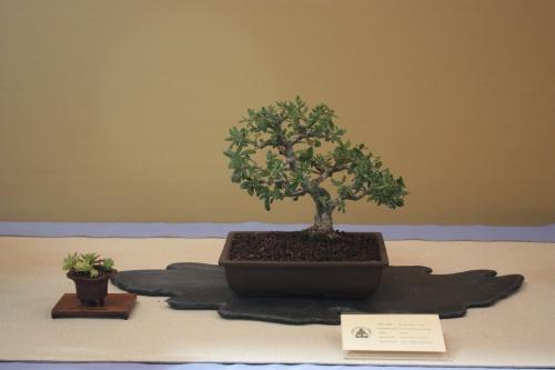 Bonsai Olea Europaea Sylvestris - Olivera borda - Assoc. Bonsai Cocentaina