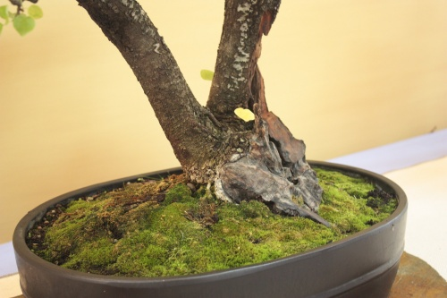 Bonsai Prunus Mahaleb - Cerezo de Sta Lucia - Assoc. Bonsai Cocentaina
