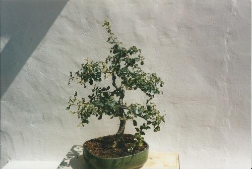 Bonsai 11400 - vicente solbes