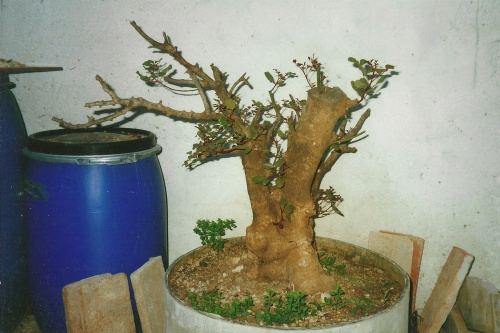 Bonsai 11404 - vicente solbes