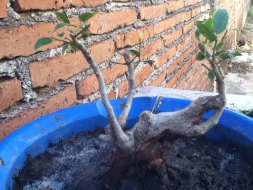 Bonsai Ficus callejero - Jose Mitre