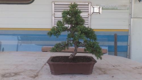 Bonsai Junipero procumbens - javel