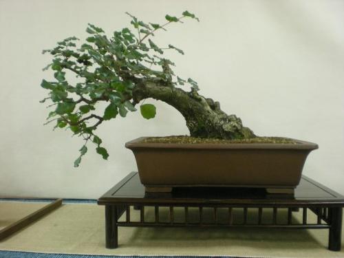 Bonsai 11560 - Assoc. Bonsai Muro