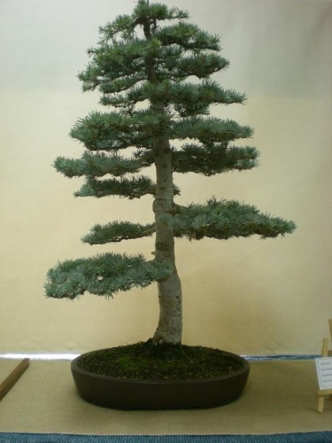 Bonsai 11564 - Assoc. Bonsai Muro