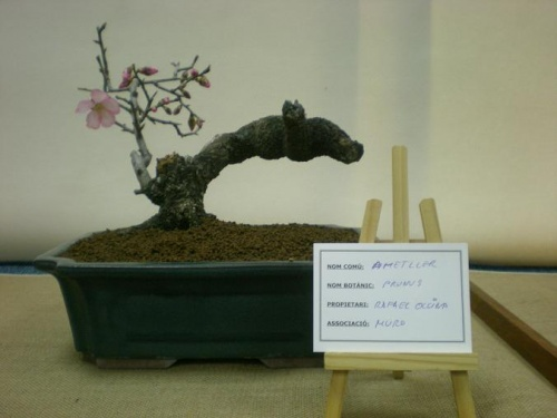 Bonsai Almendro en Flor - Prunus - Bonsai Muro - Assoc. Bonsai Muro