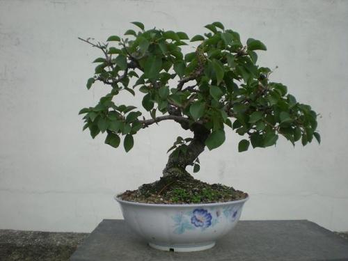 Bonsai Prunus mahaleb-4 - Elias