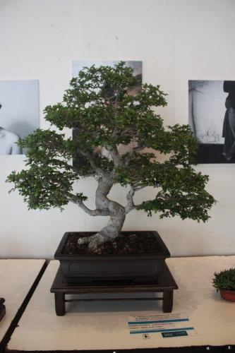 Bonsai Ulmus Parviflora - Olmo Chino - torrevejense
