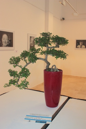 Bonsai Olmo Chino - Club Bonsai Kuka - torrevejense