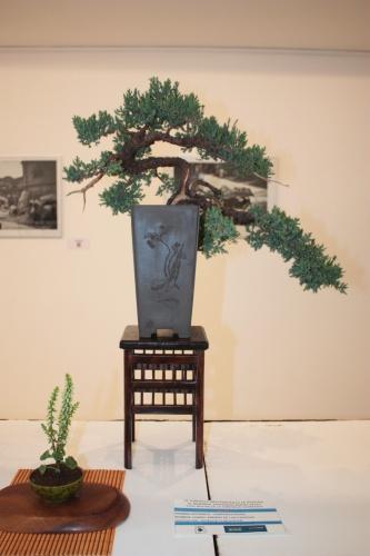 Bonsai Enebro de la Pagodas - torrevejense
