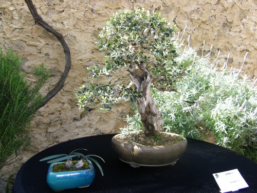 Bonsai Acebuche - Bonsai Oriol