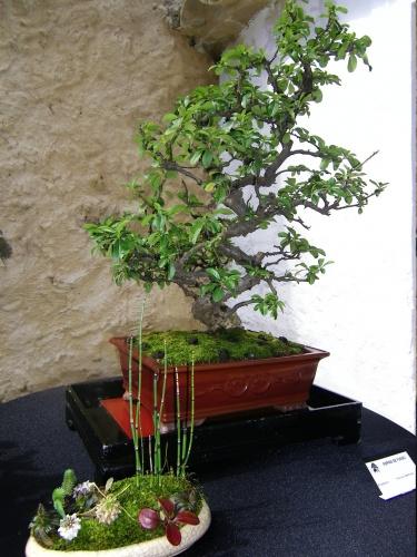 Bonsai Espino de Fuego de Francisco Martinez - Bonsai Oriol