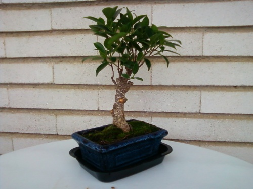 Bonsai ficus retusa - paco,contre