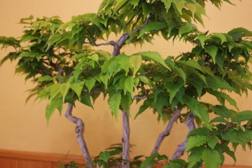 Bonsai Bosque de Carpes de Angel González - CBALICANTE